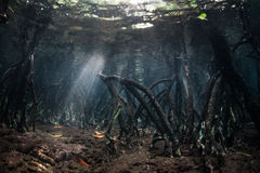 Mangrove Roots and Sunlight Underwater. Light descends into the root structure of a mangrove forest in Raja Ampat, Indonesia. Mangroves serve as vital nurseries Stock Photography