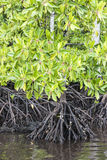 Mangrove roots Stock Photos