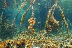 Mangrove roots under the water in Caribbean sea Stock Photography