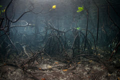 Mangrove Roots Underwater Royalty Free Stock Photography