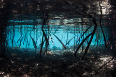 Mangrove Roots Underwater Stock Photography