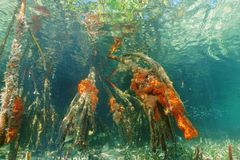 Mangrove roots underwater with red boring sponges Royalty Free Stock Photos