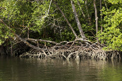 Mangrove Stock Images