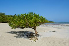 Mangrove on a sandy beach by the ocean. Mangrove tree on a sandy beach by the ocean at low tide Royalty Free Stock Photography