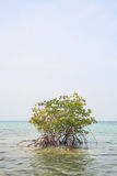 Mangrove in sea Stock Photos