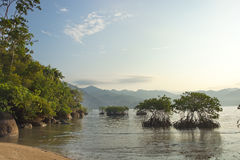 Mangrove in the sea about the coast at sunrise. Mangrove bushes in the sea about the coast at sunrise in Indonesia Royalty Free Stock Photography