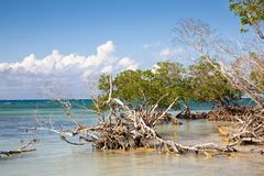 Mangrove in sea Stock Image