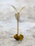 Mangrove seedling Royalty Free Stock Photos