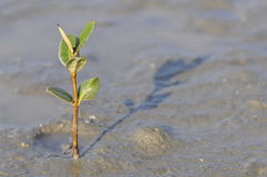 Mangrove seedling. Stock Images