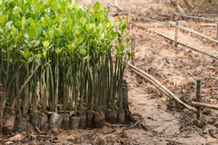 Mangrove seedlings Stock Image