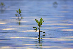 Mangrove seedlings sunset Royalty Free Stock Photography