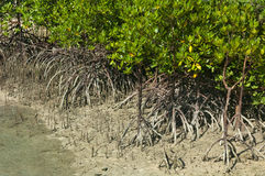 Mangrove shoots and aerial roots royalty free stock photos