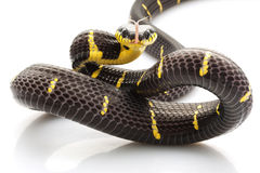 Mangrove Snake Royalty Free Stock Photos