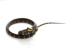 Mangrove Snake Stock Image