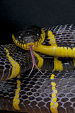 Mangrove snake. The Gold-ringed Cat Snake or Mangrove Snake ,Boiga dendrophila, is a species of snake that belongs to the genus of Boiga. They are one of the Stock Photo