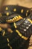 Mangrove snake Stock Photography