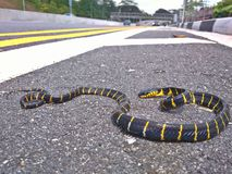 Mangrove snake. A mangrove snake, aka gold-ring cat snake, with bright yellow and black bands on its body, on a roadside along Upper Bukit Timah Road in Stock Photography