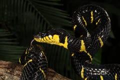 Mangrove snake (Boiga dendrophila) Royalty Free Stock Image