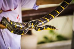 Mangrove Snake. On a hand at snake farm Thailand animals wild banded krait burmese python headshot keeled rat king cobra malayan pit viper monocled oriental royalty free stock images