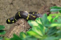 Mangrove snake royalty free stock photo