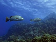 Mangrove Snapper Royalty Free Stock Images