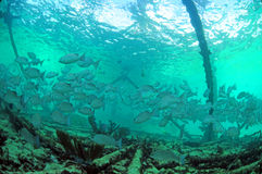 Mangrove snapper fish underwater Royalty Free Stock Photos