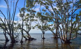 Mangrove stand royalty free stock image