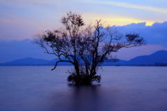 Mangrove in sunset Royalty Free Stock Image