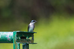 Mangrove Swallow Stock Images