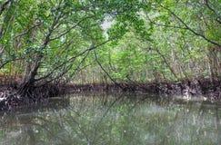 Mangrove swamp. At Bintan island, Indonesia Stock Images