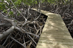 Mangrove swamp in Caravelle peninsula in Martinique Stock Images