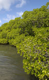 Mangrove swamp in Caravelle peninsula in Martinique Stock Photography
