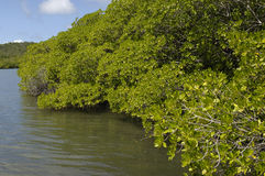 Mangrove swamp in Caravelle peninsula in Martinique Stock Photos