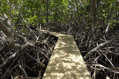 Mangrove swamp in Caravelle peninsula in Martinique. France, mangrove swamp in Caravelle peninsula in Martinique Royalty Free Stock Photography