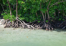 Mangrove swamp with clear blue water at Ile aux Cerfs, Mauritius Royalty Free Stock Image