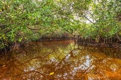 Mangrove swamp Stock Image
