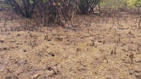 Mangrove Swamp Forest - Marine Estuaries Mud Flats stock video