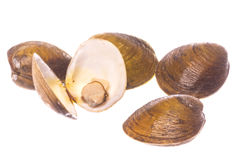 Mangrove Swamp Lokan Clams Isolated Stock Photography