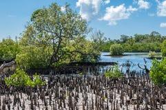 Mangrove swamp Stock Images