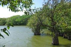 Mangrove swamp in Nicaragua Stock Images