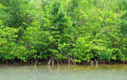 Mangrove swamp in Petit Canal in Guadeloupe Stock Images