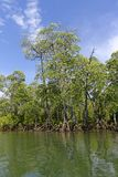 Mangrove swamp Stock Photography