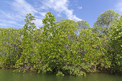 Mangrove swamp Royalty Free Stock Image