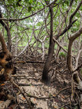 Mangrove swamp Royalty Free Stock Photo