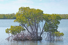 Mangrove. In the swamp waters Stock Image