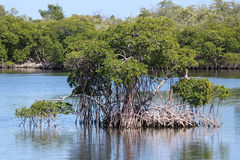 Mangrove. In the swamp waters Stock Photography