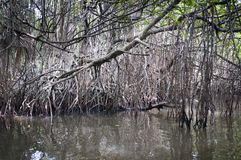Mangrove tangle Royalty Free Stock Image