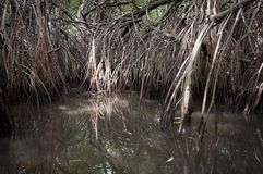 Mangrove tangle Royalty Free Stock Photography