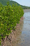 Mangrove in thailand. Mangrove in eastern of thailand Stock Photos