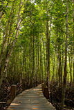 Mangrove in thailand Royalty Free Stock Photo